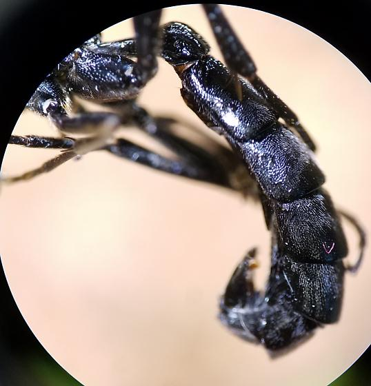 Black Ichneumonid Wasp - male