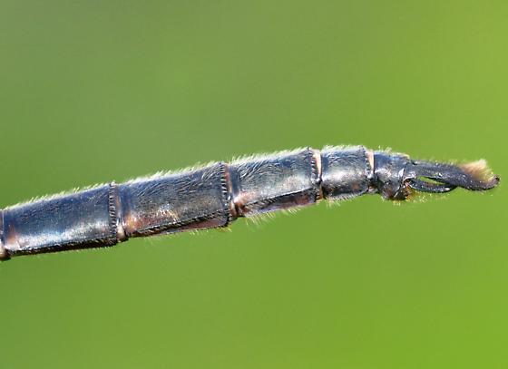 Williamson's Emerald - Somatochlora williamsoni - male