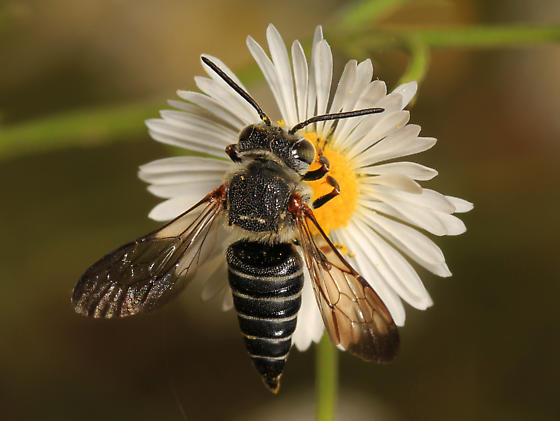Leaf Cutter Bee - Coelioxys