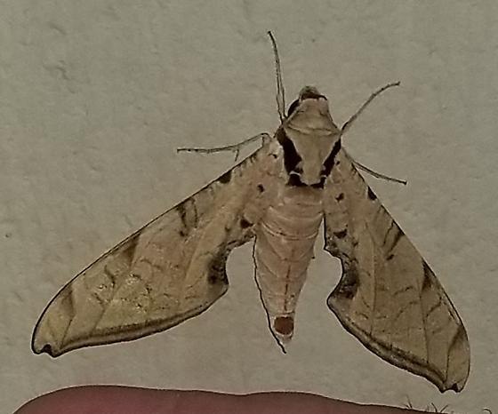 Protambulyx strigilis – Streaked Sphinx Moth - Protambulyx strigilis