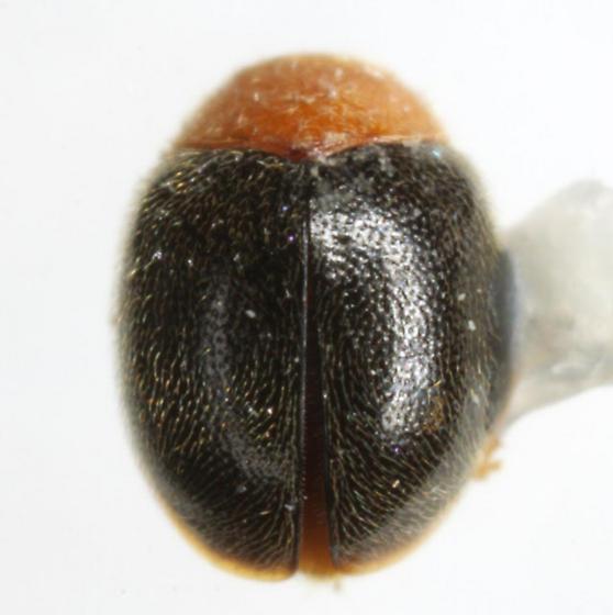 Scymnus cervicalis Mulsant  - Scymnus cervicalis