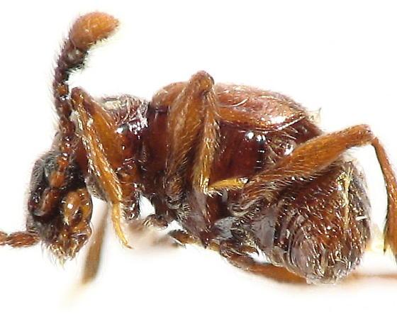 Subfamily Pselaphinae - Rybaxis clavata