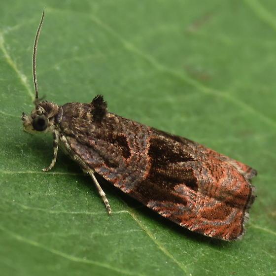 A Tortricid Moth - Olethreutes sericoranum
