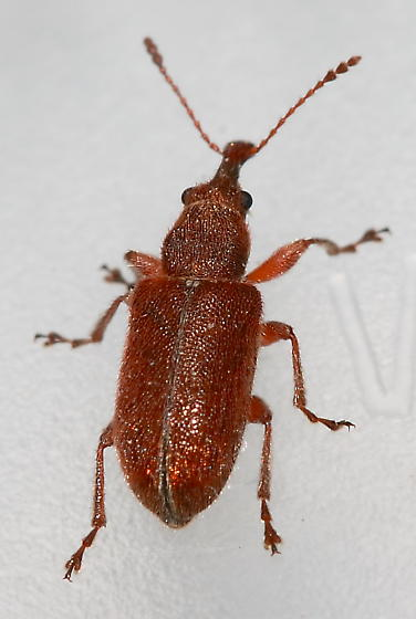 Billbug - Cimberis elongata