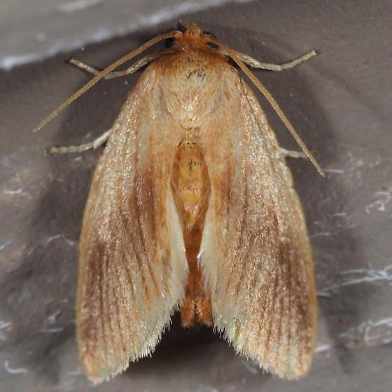 Warm-chevroned Moth - Tortricidia testacea