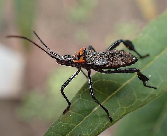 Leptoglossus phyllopus nymph - Leptoglossus phyllopus