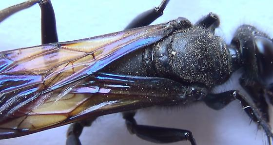 Thread-waisted Wasp Body Scan (dorsal thorax) - Sphex lucae - female