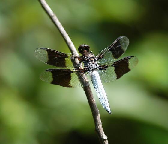 White tailed dragonfly - Plathemis lydia