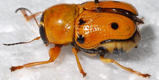 Unknown Beetle - Griburius larvatus