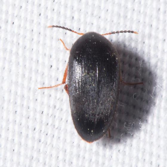 Synstrophus repandus? - Eustrophopsis bicolor