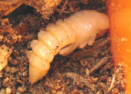 Alobates pennsylvanica pupa - Alobates pensylvanicus