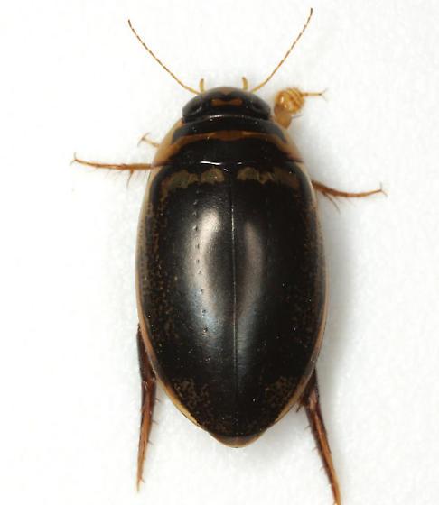 Thermonectus basillaris (Harris)  - Thermonectus basillaris - male