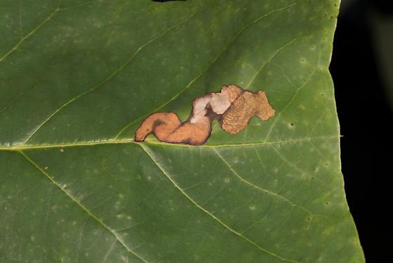 Leaf Miner on Liriodendron tulipifera - Odontopus calceatus