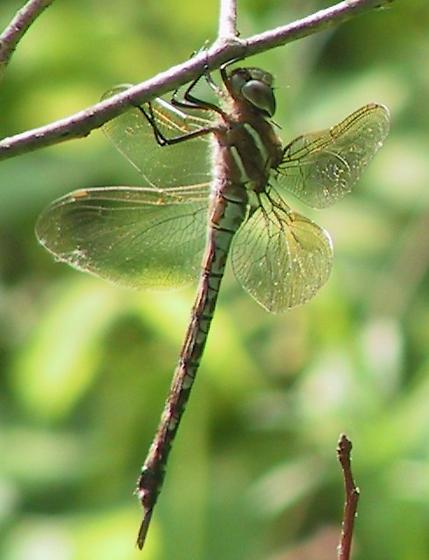 Springtime Darner - Basiaeschna janata - female