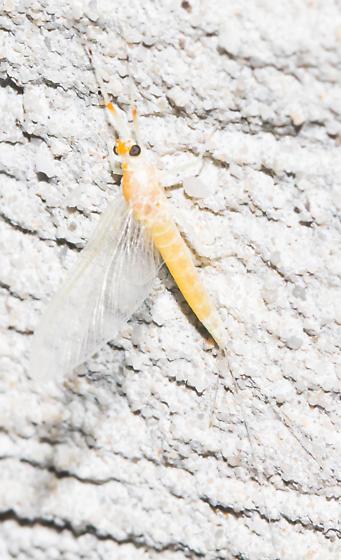 2018-08-14 Pale orange mayfly - Anthopotamus