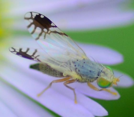 fruit fly - Trupanea actinobola - female