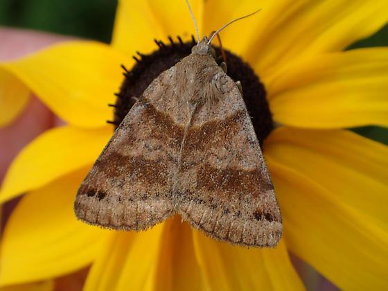 Noctuidae sp ? - Caenurgina crassiuscula
