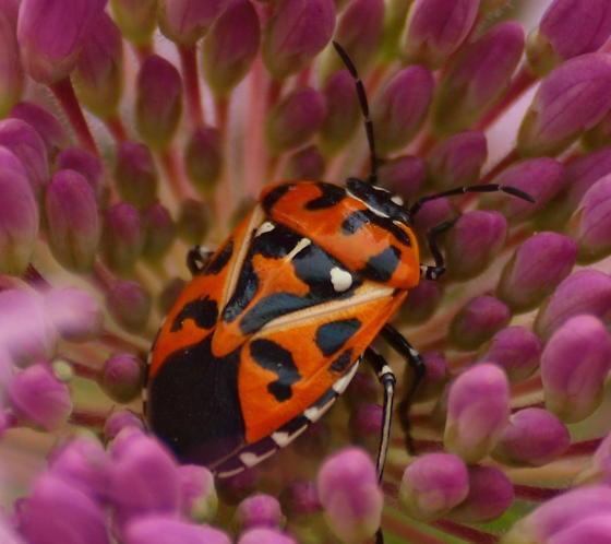 Vivid true bug - Murgantia histrionica
