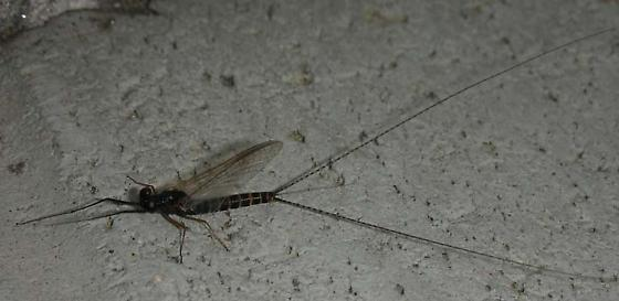 Mayfly 4 - Leptophlebia - male