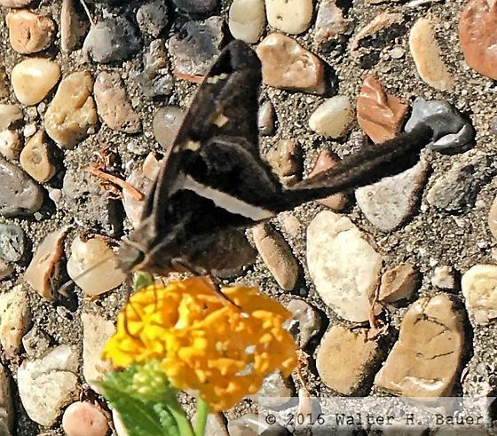 White-Striped Longtail (Chioides albofasciatus) - Chioides albofasciatus