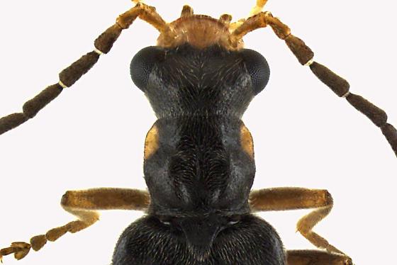 Soldier beetle - Dichelotarsus puberulus