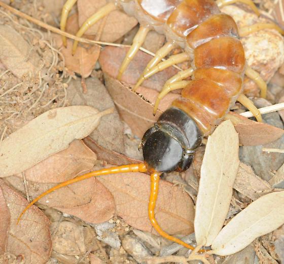Giant Redheaded Centipede close-up - Scolopendra heros