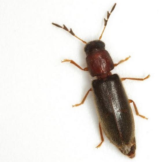 Neorthopleura texana (Bland) - Neorthopleura texana