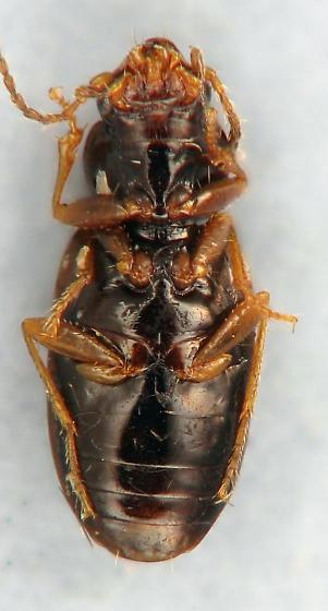 small carabid 8 - Elaphropus quadrisignatus