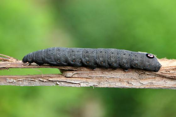 Sphinx Moth Caterpillar (Proserpinus?) - Proserpinus flavofasciata