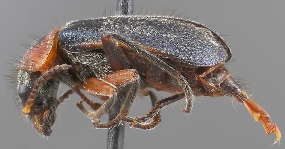 Collops marginicollis - female
