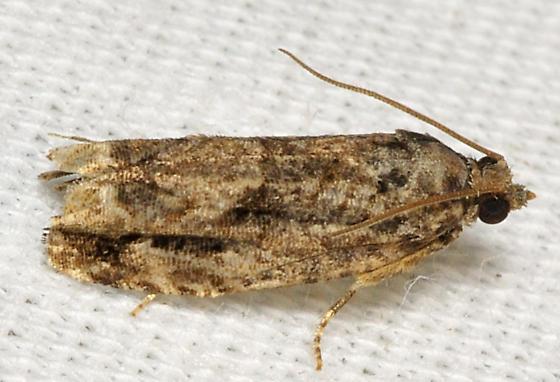 Airplane moth - Gretchena concitatricana