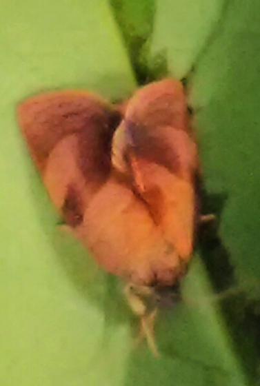 Moth - Cacoecimorpha pronubana