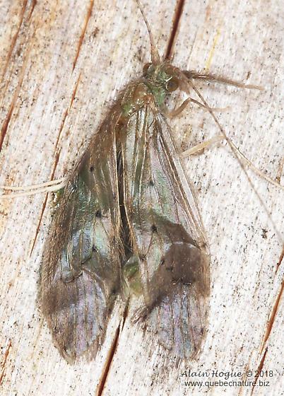 Leptoceridae ? - Oecetis