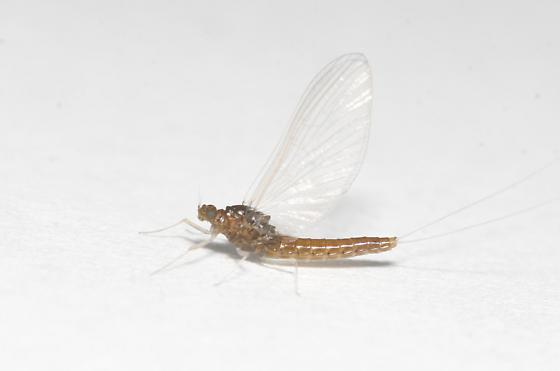 Baetidae: Diphetor hageni adult - Diphetor hageni - female