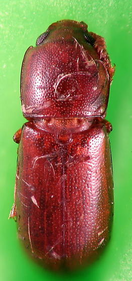 Beetle something - Corticeus parallelus