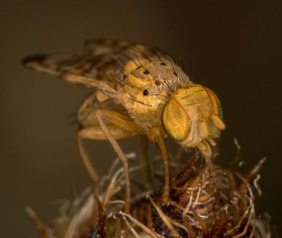Fruit fly - Chaetorellia australis