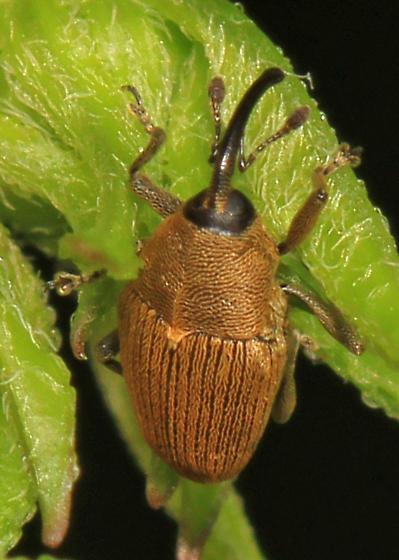 small Weevil - Geraeus picumnus