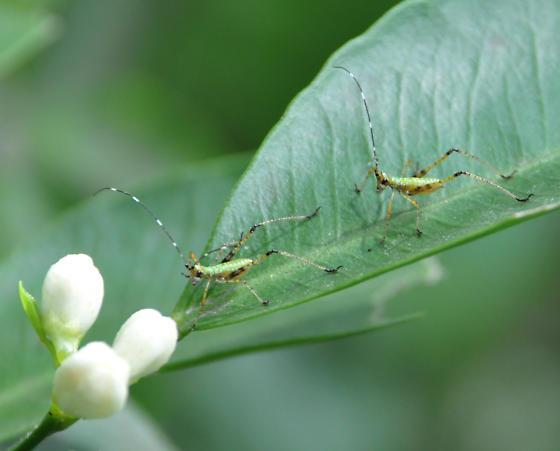 Small Green Cricket  - Scudderia - male - female