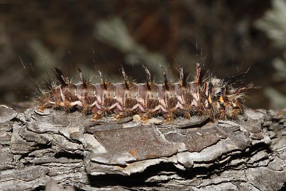 Caterpillar - Panthea gigantea