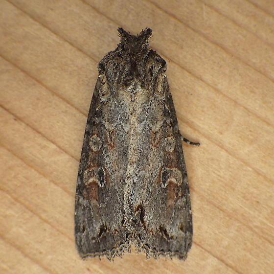 Noctuidae: Polia purpurissata - Polia purpurissata