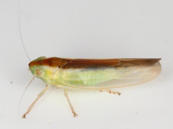 Leafhopper - Neocoelidia fuscovittata