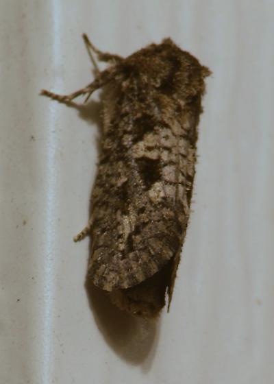 Moth at our back door light - Acrolophus arcanella