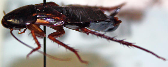 Shelfordella lateralis Adult Female - Shelfordella lateralis - female