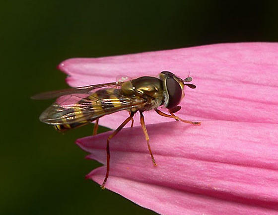 Another syrphidae to identify...