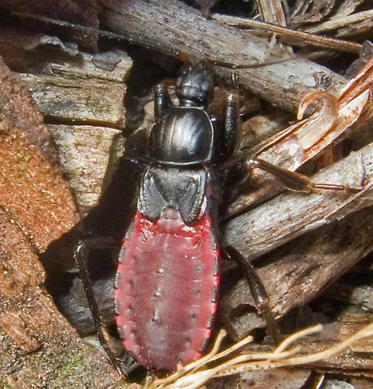 Black Corsair - Melanolestes picipes - female