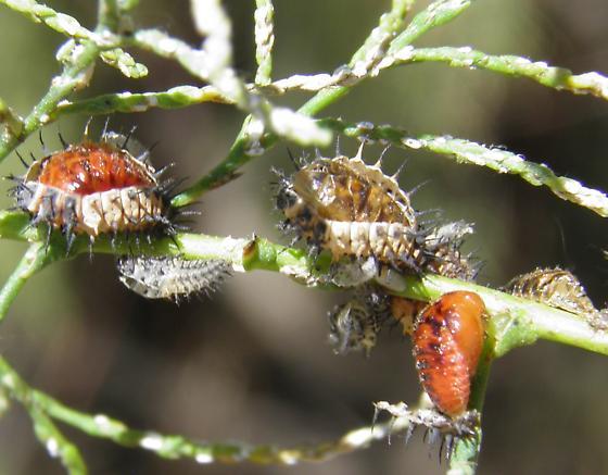 Adults, larvae and pupae on tamarisk - Chilocorus cacti