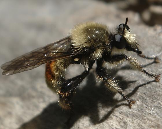 Bee-like robber fly - Laphria fernaldi