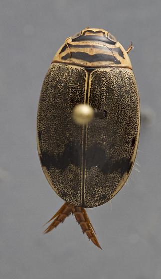 Thermonectus nigrofasciatus? - Thermonectus nigrofasciatus