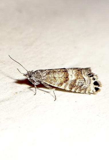 Fruitworm Moth. ?