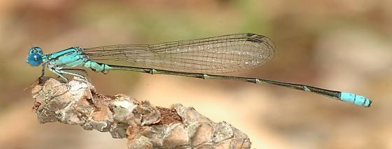 Pale Bluet - Enallagma pallidum - male